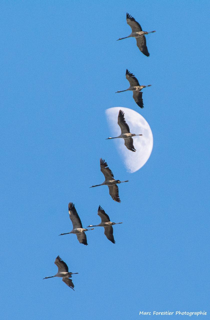 Le vol des grues, Marc Forestier, Atelier Focale 16, exposition photo à l'incontournable